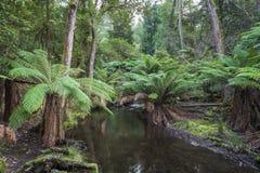 Тропический лес в национальном парке поля держателя, Тасмании Australi Стоковое Изображение RF