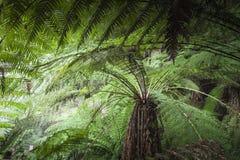 Тропический лес в национальном парке поля держателя, Тасмании Australi Стоковые Изображения RF
