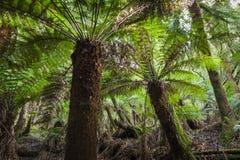 Тропический лес в национальном парке поля держателя, Тасмании Australi Стоковые Фотографии RF