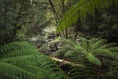 Тропический лес в национальном парке поля держателя, Тасмании Australi Стоковое Фото
