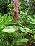 Тропический лес Квинсленд Австралия Kuranda Стоковые Изображения