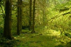Тропический лес реки Hoh на олимпийском национальном парке стоковая фотография rf