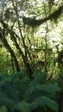 Тропический лес соотечественника Hoh Стоковая Фотография RF