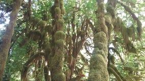 Тропический лес Hoh национальный олимпийский Стоковая Фотография RF