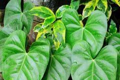 Тропический завод с зеленой и желтой листвой Свежее фото предпосылки лист Стоковое Фото