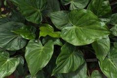 Тропический завод с свежим фото предпосылки лист Стоковые Фотографии RF