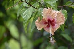 Тропический завод гибискуса, Mahé Сейшельские островы Стоковое Изображение RF