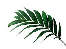 Тропический зеленый завод ладони лист изолированный на белой предпосылке, пути Стоковые Изображения RF