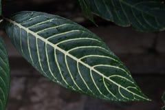 Тропический зеленый цвет лист с желтыми венами на темной предпосылке стоковые изображения