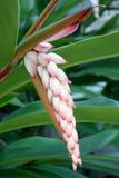 Тропический имбирь раковины с красивой слоновая костью и розовыми бутонами цветка Стоковые Фото