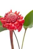 Тропический имбирь факела цветка, на белизне Стоковая Фотография