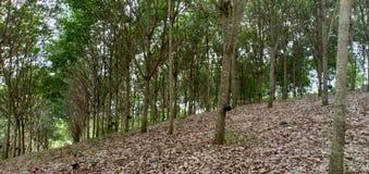 Тропический лес и резиновые плантации стоковое изображение