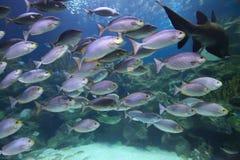 Тропический обучать рыб Стоковая Фотография