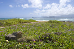 Тропический пляж Гаваи с цветками pohuehue стоковые изображения