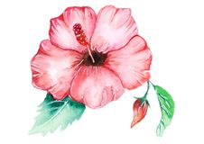 Тропический розовый цветок hibicus стоковые фотографии rf