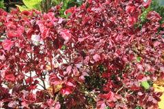 Тропический сад с красными листьями Стоковые Изображения