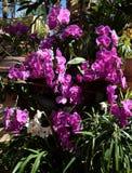 Тропический сад, с фиолетов-розовыми орхидеями phalenopsis в цветени Стоковая Фотография RF