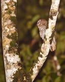 Тропический сыч Screech Стоковое Изображение