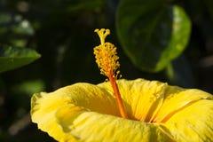 Тропический цветок в солнечном фото сада Желтое цветение гибискуса на зеленом кусте Стоковые Изображения