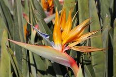 Тропический цветок длиннохвостого попугая Стоковое Фото