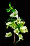 Красивейший белый цветок на черной предпосылке Стоковое Изображение