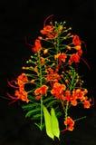 Красивейший красный цветок на черной предпосылке Стоковая Фотография RF