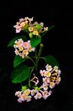 Красивейший розовый цветок на черной предпосылке Стоковое Изображение