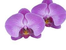 Тропический цветок орхидеи стоковая фотография rf