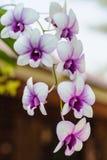 Тропический цветок орхидеи Стоковое Фото