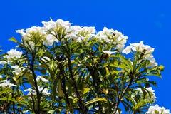 Тропический цветок от Венесуэлы Стоковое фото RF