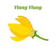 Тропический цветок - Cananga иланг-иланга Косметики, медицинский завод Естественный экзотический цветок иллюстрация вектора