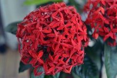 Тропический цветок Heliconia стоковая фотография rf