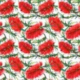 Тропический цветочный узор с красным экзотическим callistemon цветков Стоковое фото RF