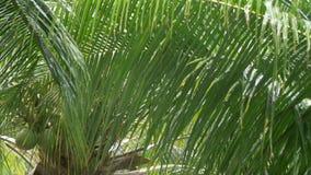 Тропический шторм на зеленых пальмах - широкая съемка 4k проливного дождя сток-видео