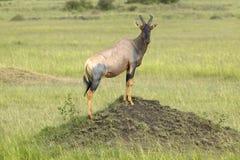 Тропический шлем на насыпи в злаковиках Masai Mara в Кении, Африке Стоковые Изображения RF
