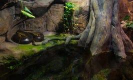 Тропический anaconda змейки (murinus Eunectes) Стоковое Изображение