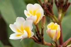 Тропический frangipani цветков стоковое фото