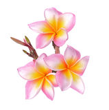 Тропический frangipani цветков (plumeria) изолированный на белой предпосылке Стоковое фото RF