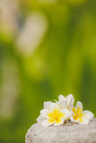 Тропический frangipani цветков, plumeria между растительностью Стоковые Фото