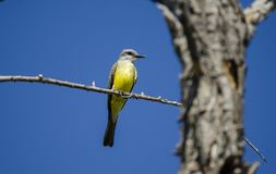 Тропический Kingbird, заболоченные места Tucson Аризона Sweetwater, США стоковая фотография