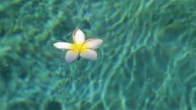 Тропический plumeria в бассейне курорта сток-видео