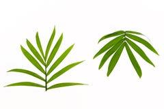 2 тропических листь ладони Стоковое фото RF