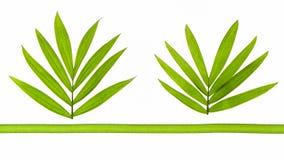 2 тропических листь с одной зеленой лентой Стоковое Изображение