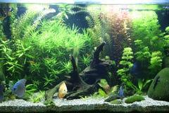 тропическое аквариума пресноводное Стоковое фото RF