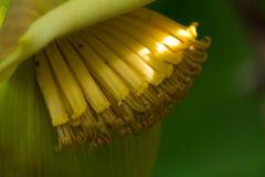Тропическое дерево - ладонь банана с цветками и плодоовощами стоковое изображение rf