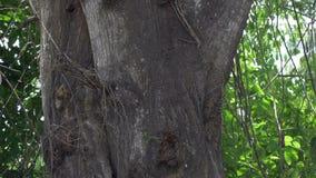 Тропическое дерево джунглей в Юго-Восточной Азии (Таиланде) - съемке укладки в форме 4k акции видеоматериалы