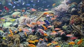 Тропическое заплывание рыб видеоматериал