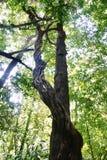 Тропическое исполинское дерево. стоковая фотография rf