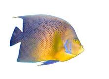 тропическое коралла angelfish изолированное рыбами Стоковая Фотография