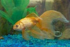 тропическое рыб золотистое Стоковое Изображение RF